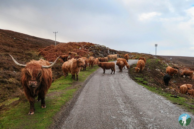 highland cows road north coast 500 campsites