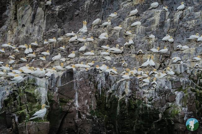 gannets bass rock boat
