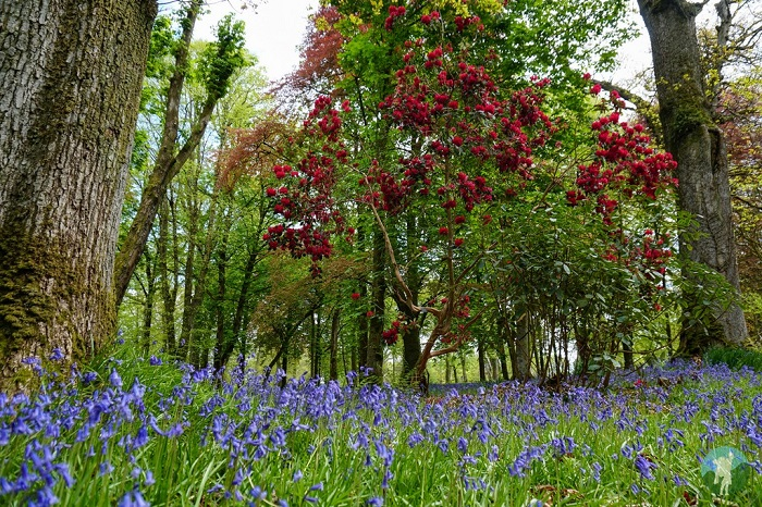 gardens mount stuart spring bluebells