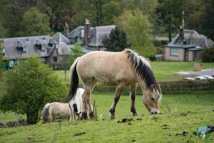 ponies scottish highlands aberdeenshire
