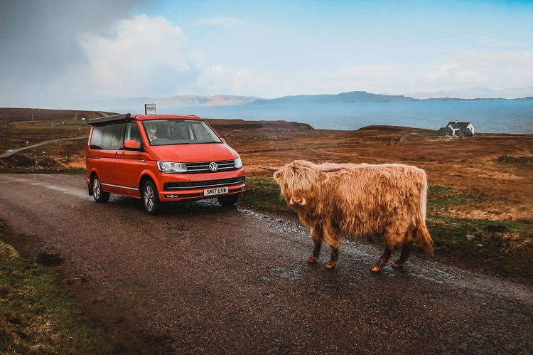 highland cow on the road scotland