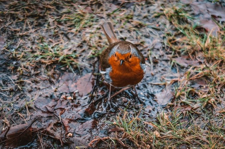 robin scottish highlands